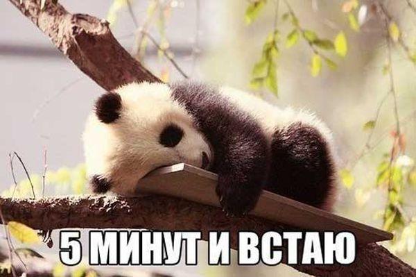 Панда на дереве, которая хочет спать