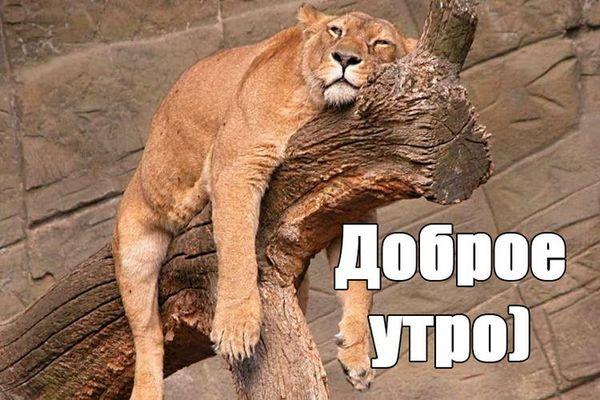 Смешная картинка с невыспавшейся львицей