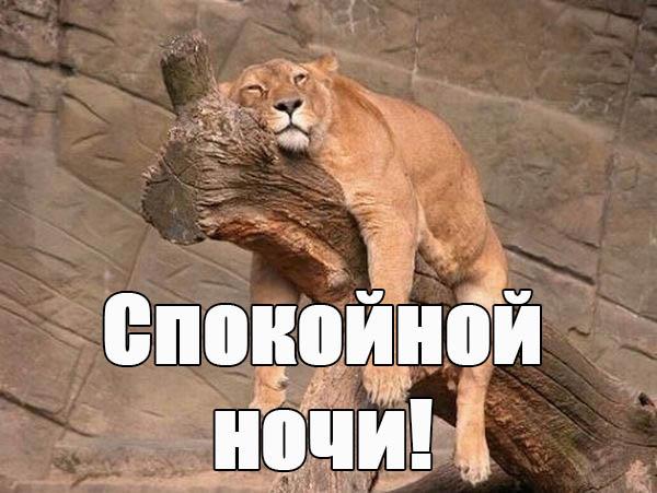 Забавная львица желает спокойной ночи